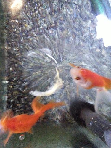 20170430 金魚1
