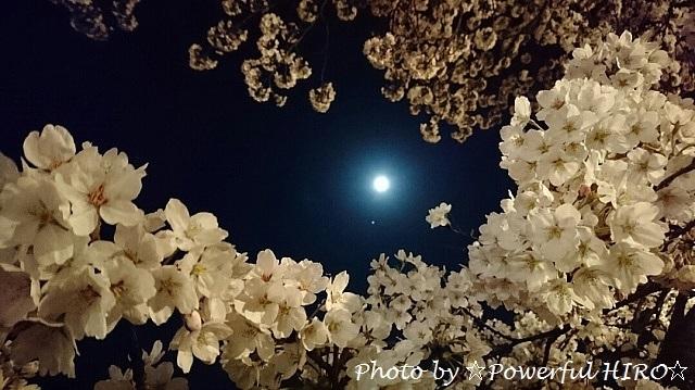夜桜2017 (1)