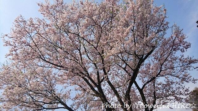 桜吹雪2017 (1)
