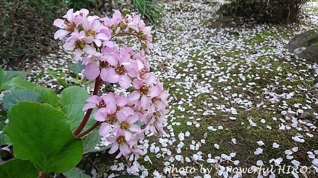 桜吹雪2017 (8)