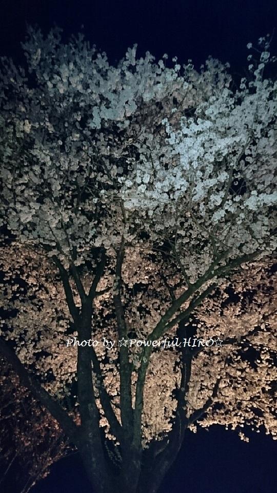 夜桜2017 (3)