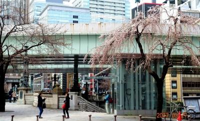 日本橋桜開花