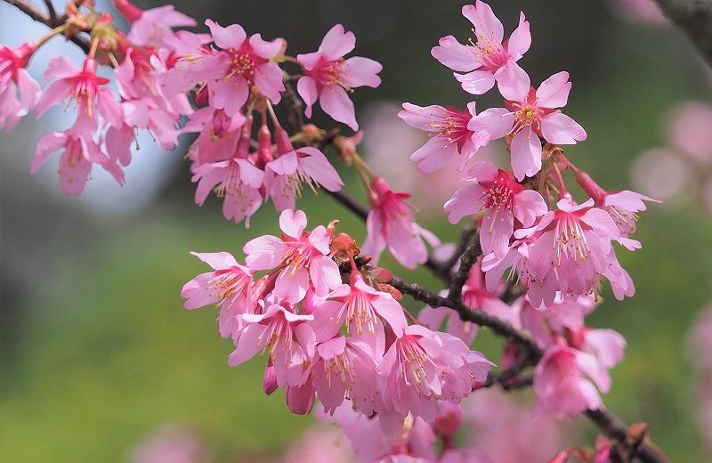 オカメ桜12