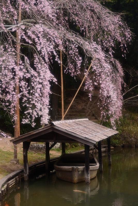 曹源寺の枝垂れ桜6t