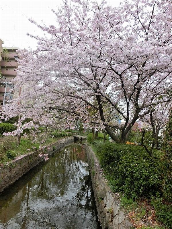 枝川緑道公園の桜4t