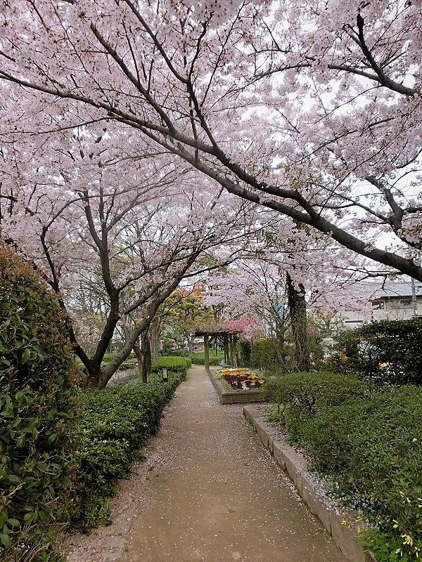 枝川緑道公園の桜5t