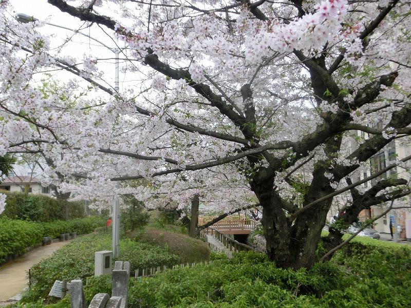 枝川緑道公園の桜7