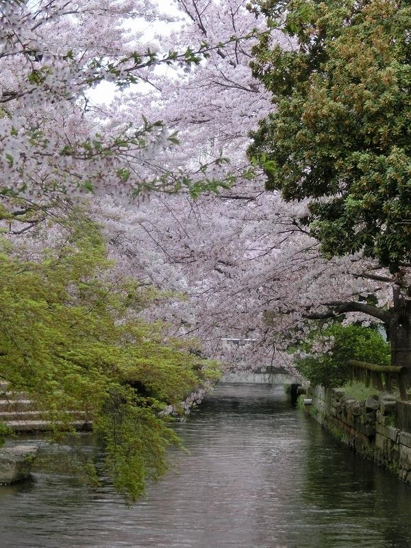西川緑道公園の桜18t