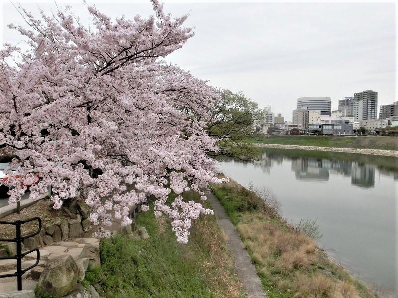 後楽園の桜29