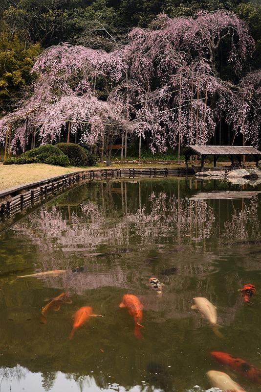 曹源寺の枝垂れ桜2t