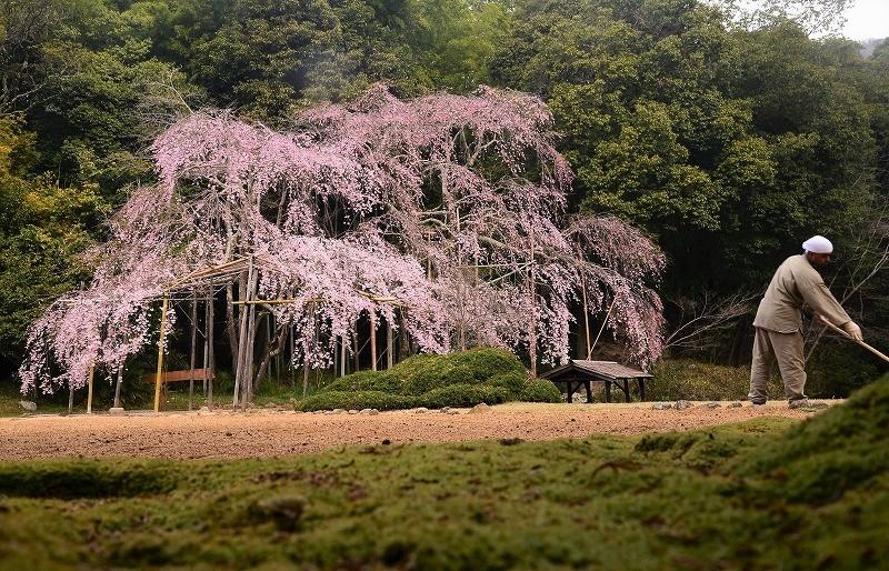 曹源寺の枝垂れ桜3