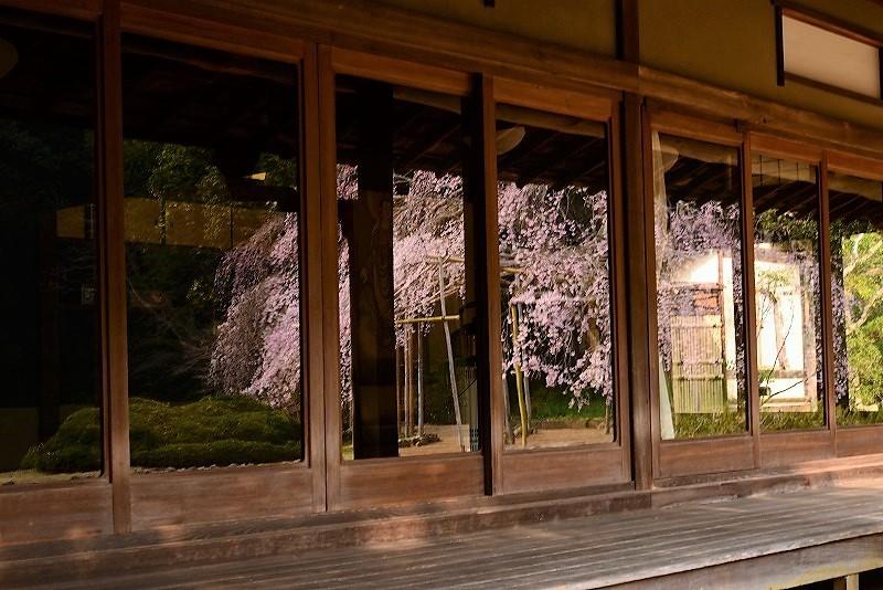 曹源寺の枝垂れ桜5