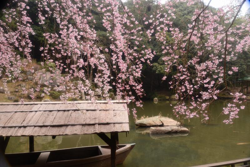 曹源寺の枝垂れ桜8