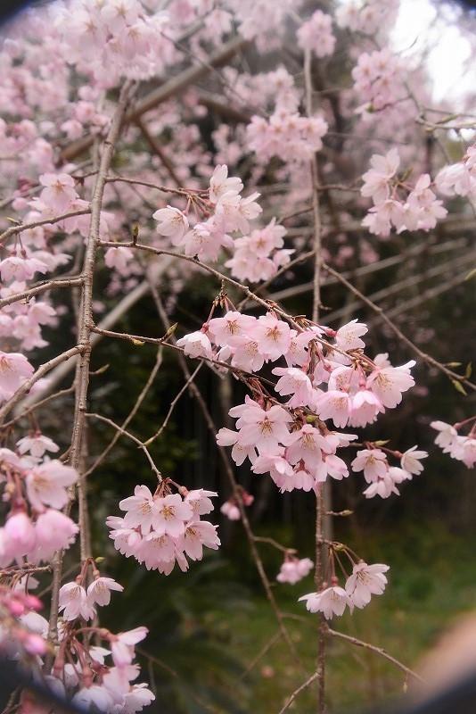 曹源寺の枝垂れ桜13t