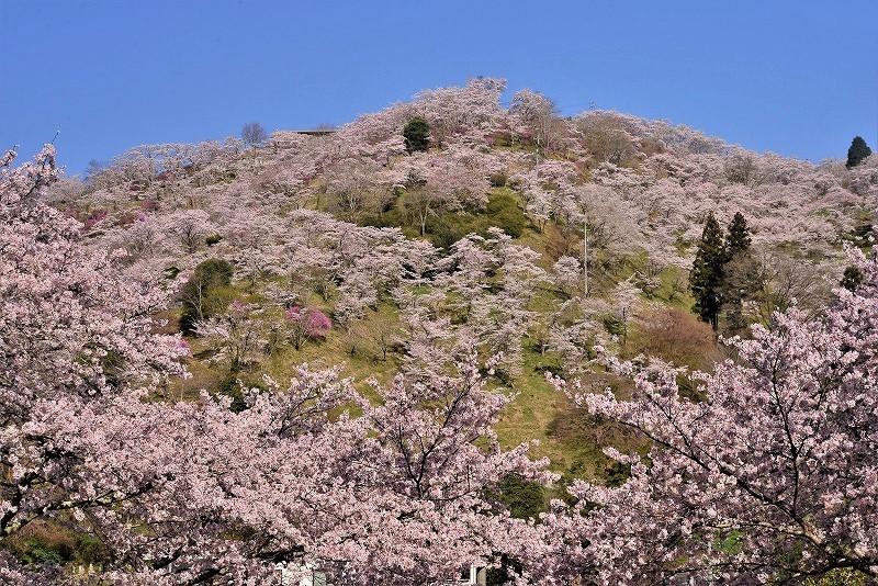 三休公園の桜1