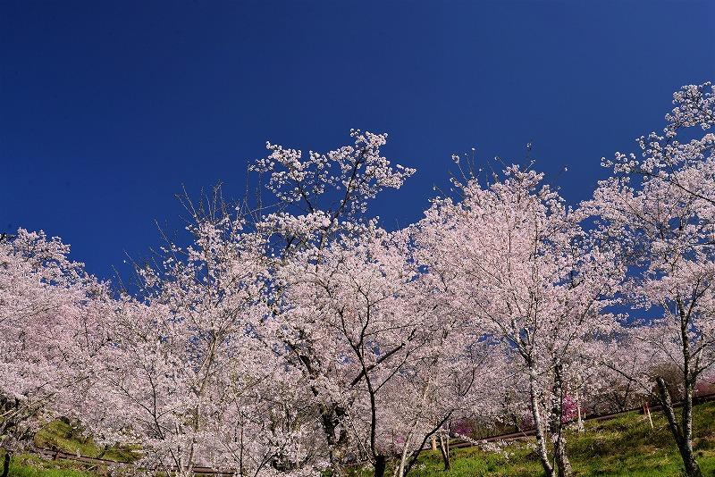 三休公園の桜9