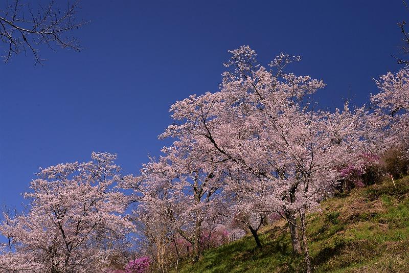三休公園の桜10