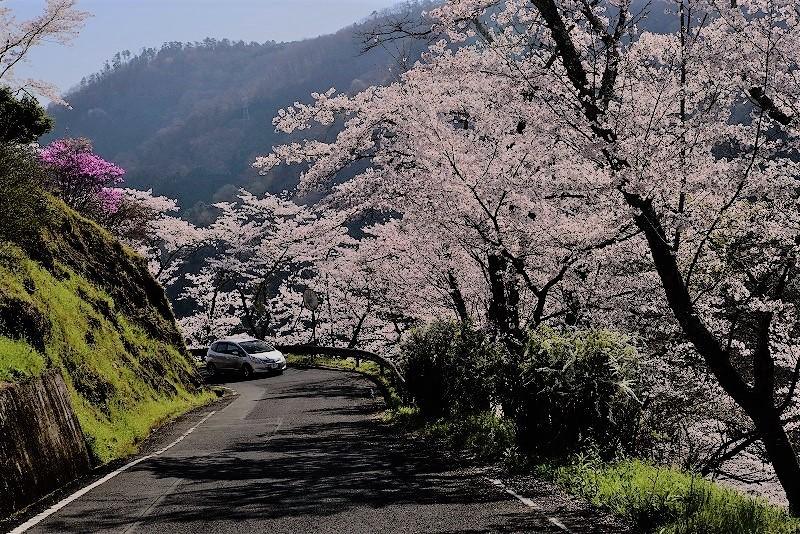 三休公園の桜12