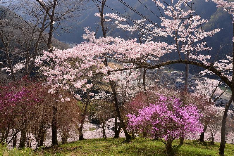 三休公園の桜14