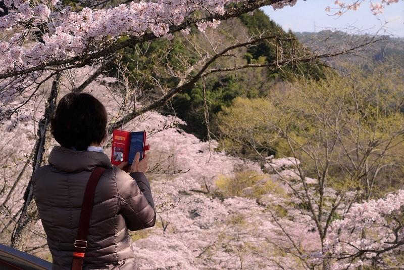 三休公園の桜16