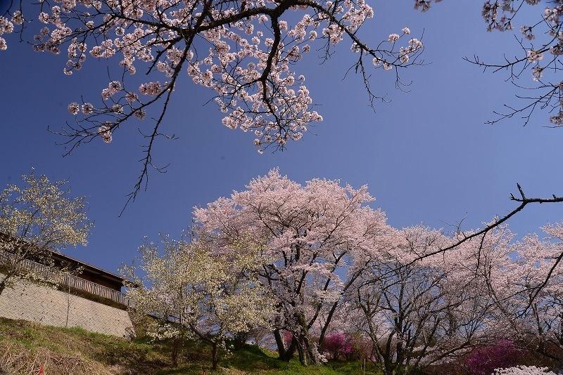 三休公園の桜26t