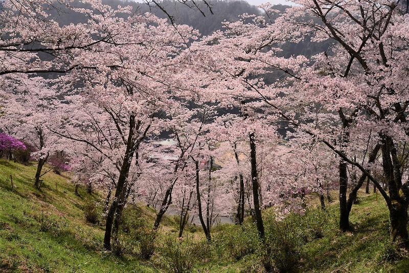 三休公園の桜27