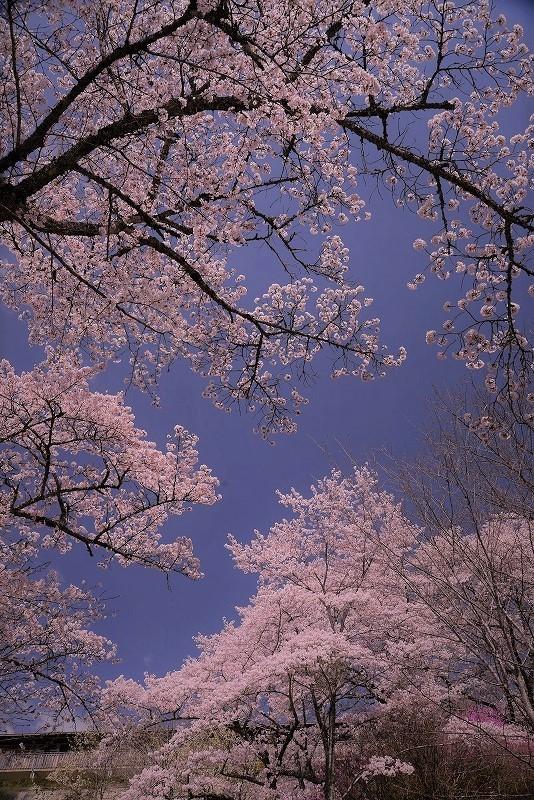三休公園の桜28