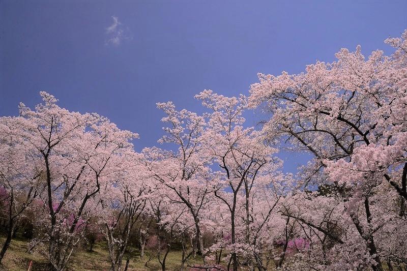 三休公園の桜30
