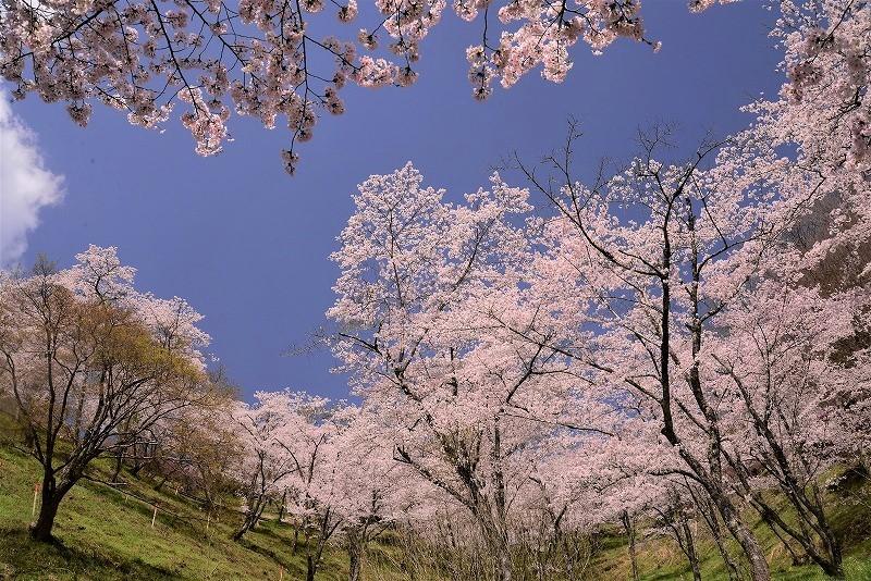 三休公園の桜33