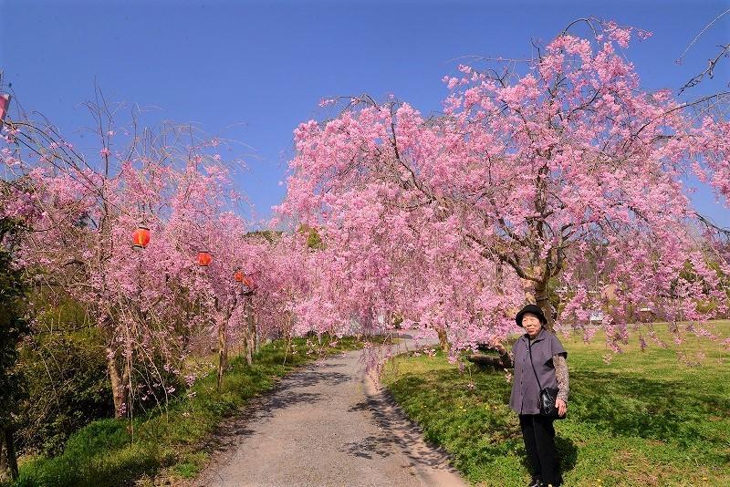 たけべの森の枝垂れ桜2