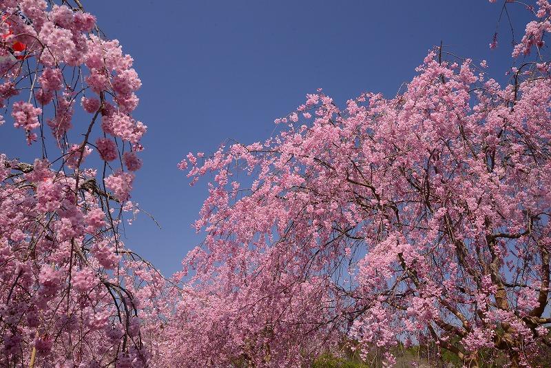 たけべの森の枝垂れ桜3