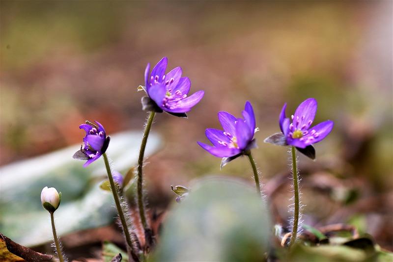 雪割草(ミスミソウ)紫
