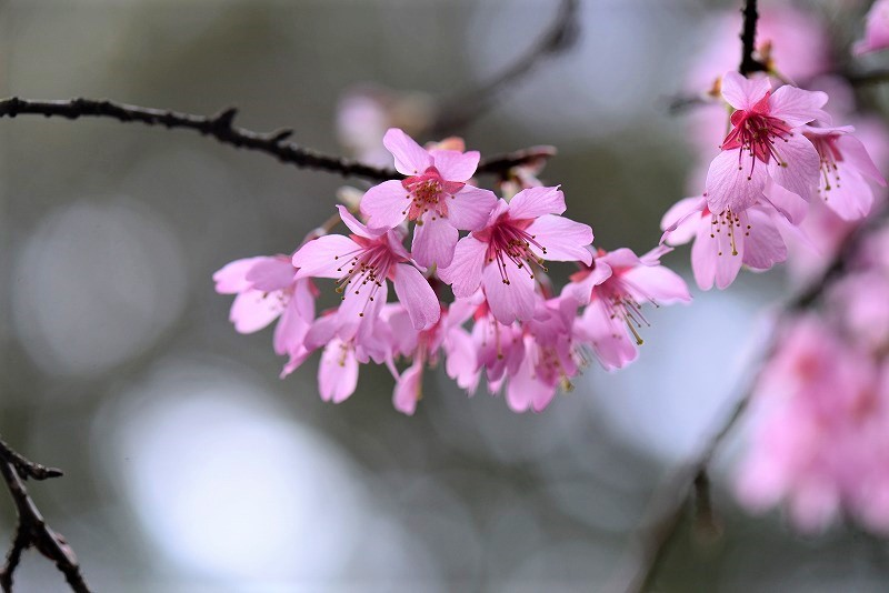 オカメ桜4