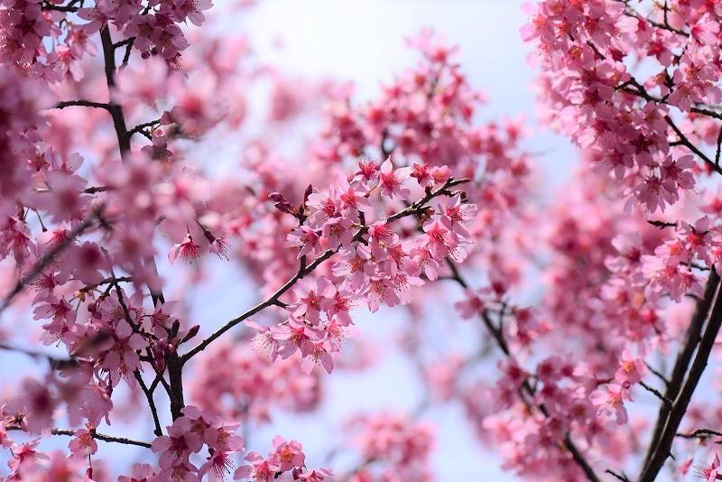 オカメ桜3