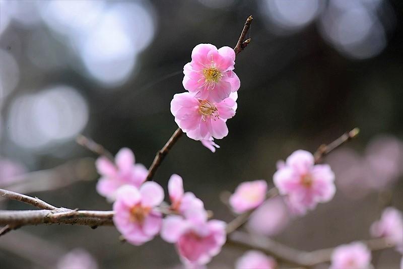 ピンクの梅の花1
