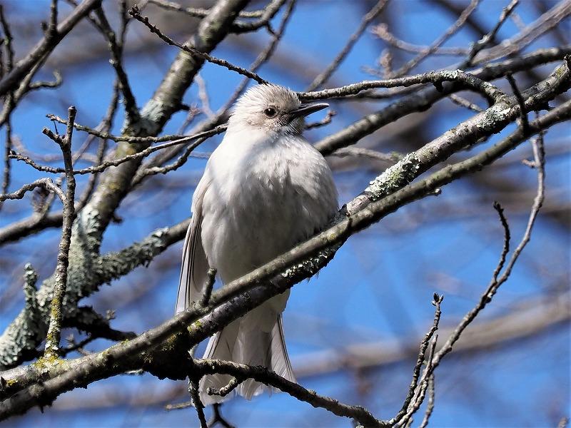白いヒヨドリ1