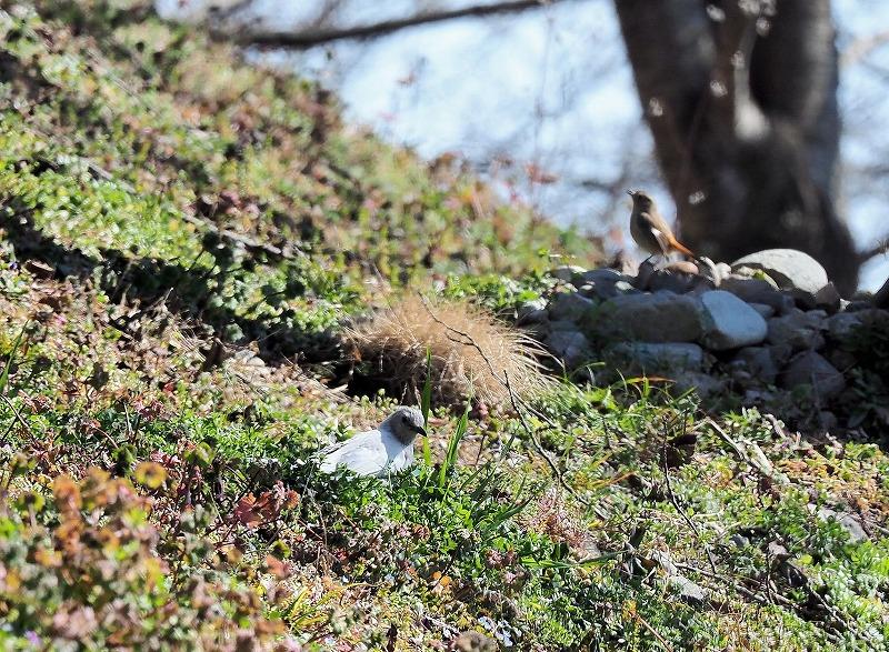 白いヒヨドリとジョウビタキ♂