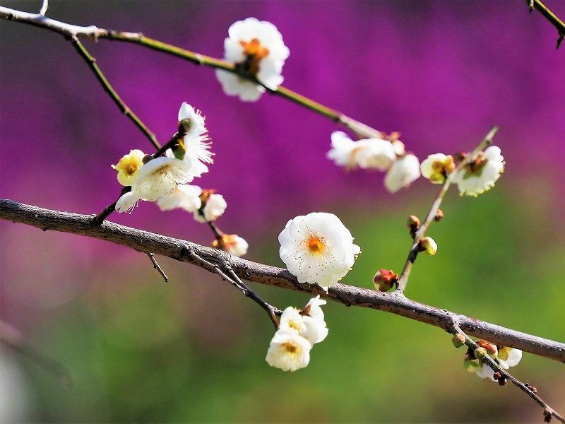 花壇の枝垂れ梅