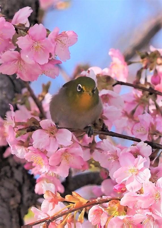 河津桜とメジロ4t