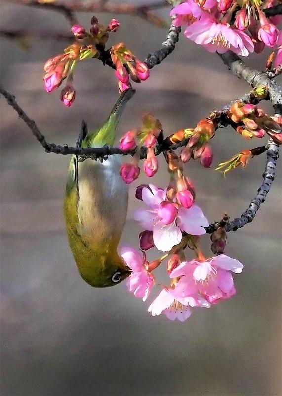 河津桜とメジロ8t