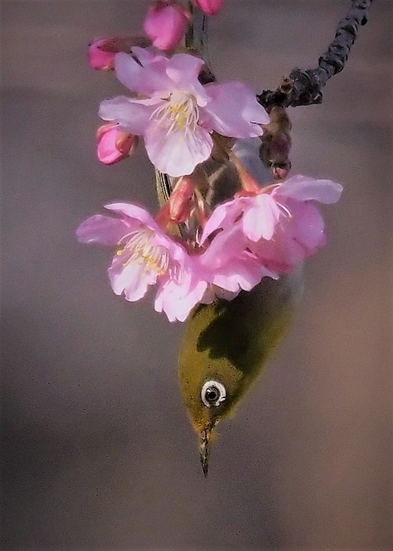 河津桜とメジロ11t