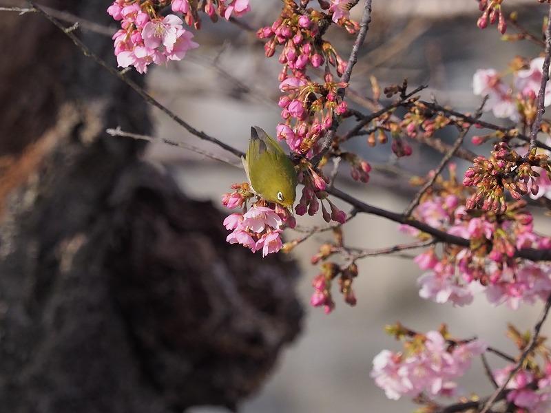 河津桜とメジロ12