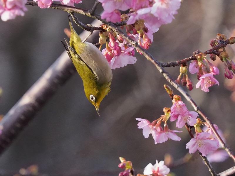 河津桜とメジロ14
