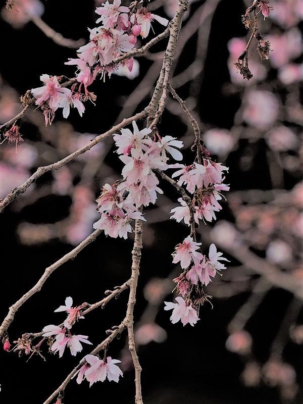 四季桜1t