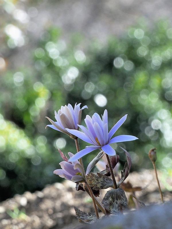 ユキワリイチゲ(ブルー)