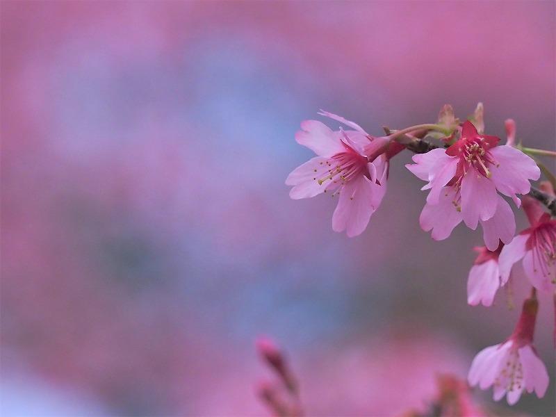 オカメ桜9