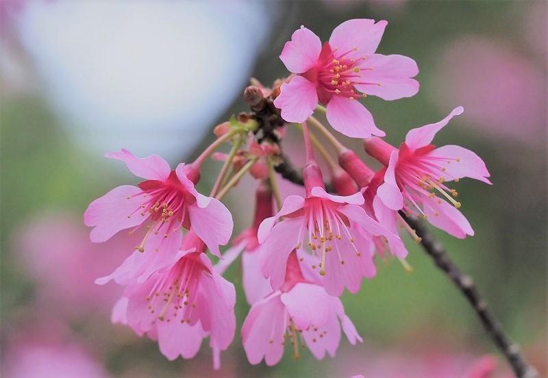 オカメ桜10