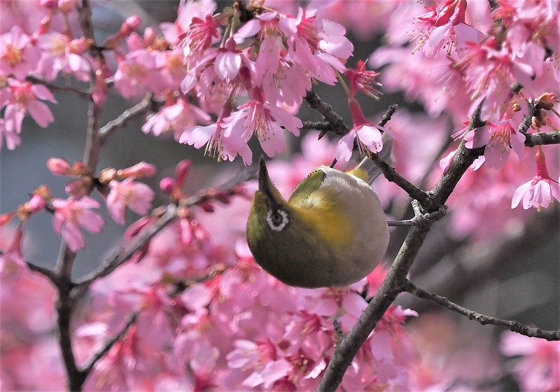オカメ桜とメジロ4