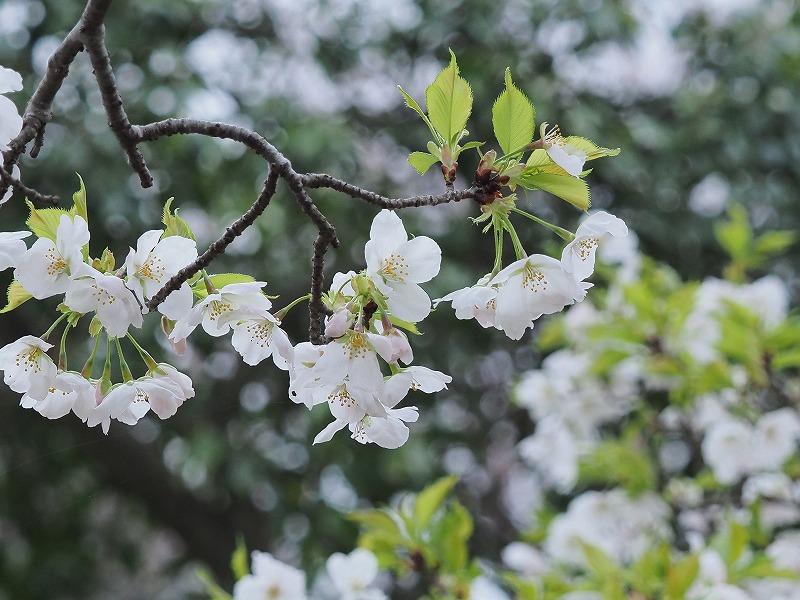たけべの森の桜3