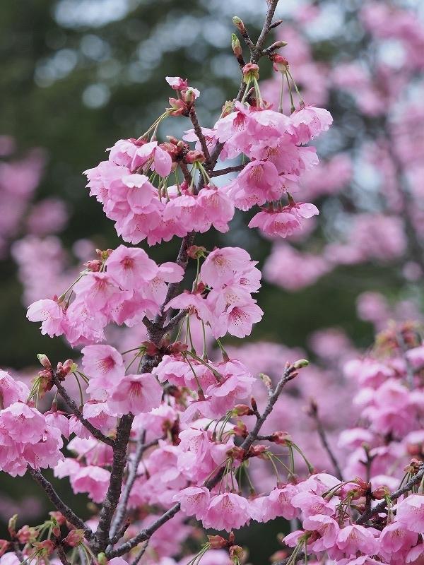 たけべの森の桜4